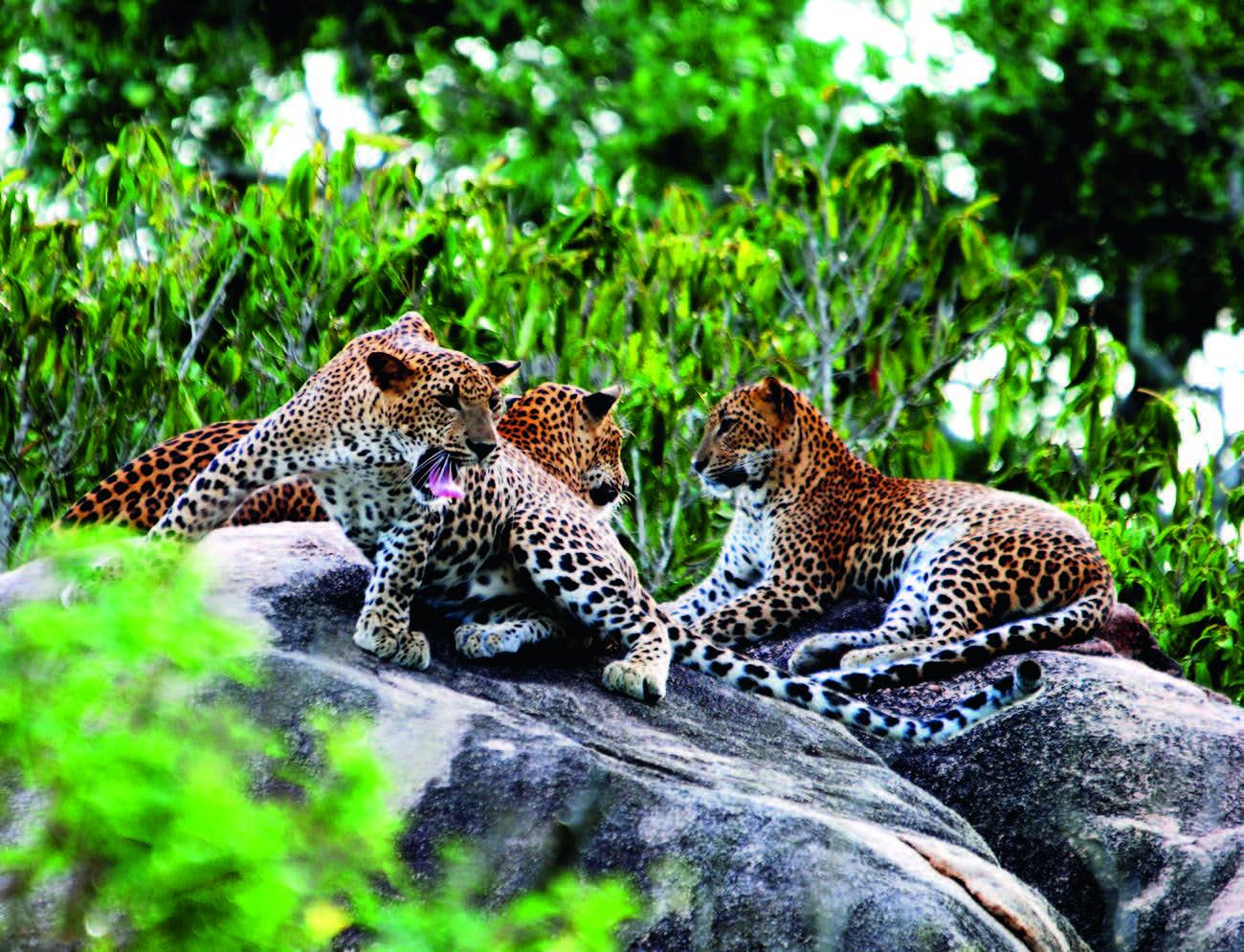 Leopardai Šri Lankos parke