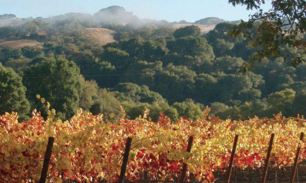 Kaprizingosios vynuogės Pinot Noir