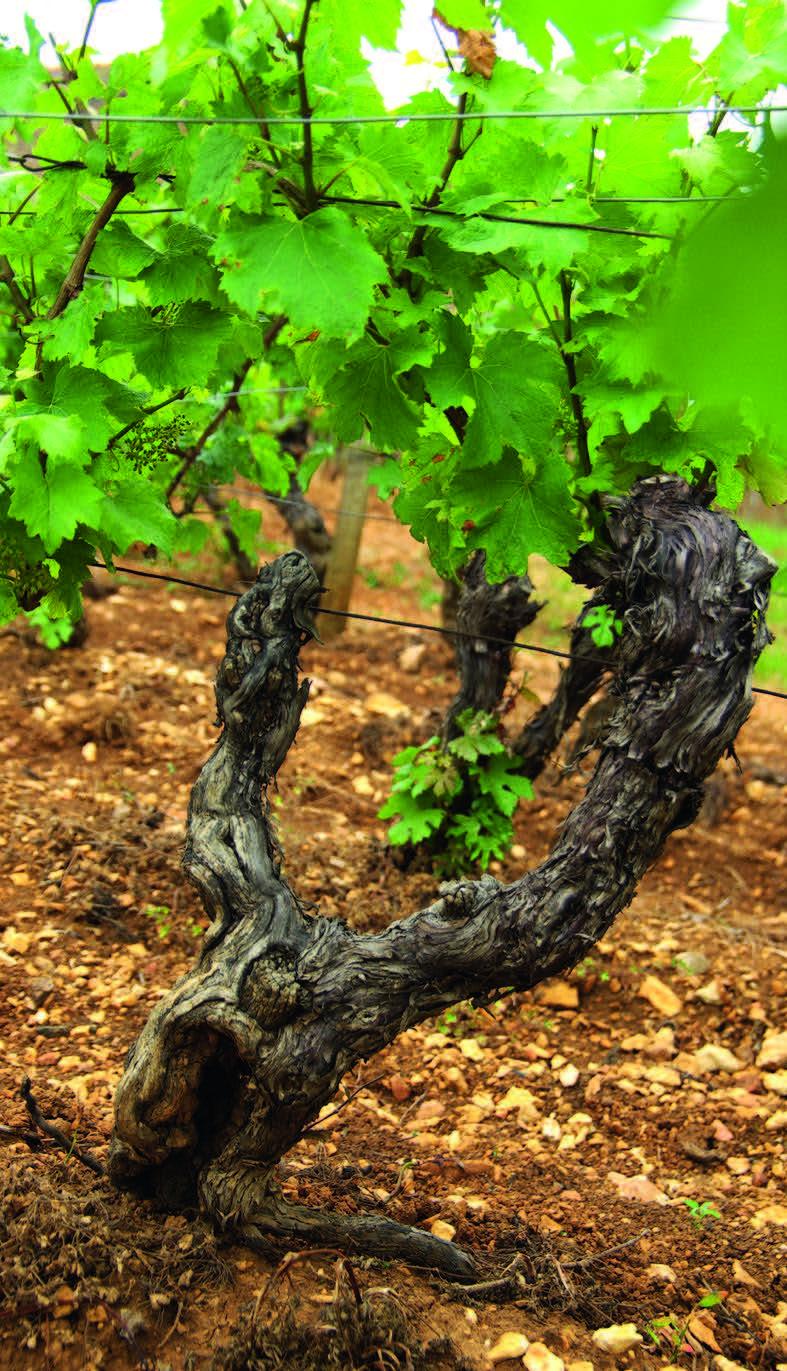 Pouilly Fuisse vynuogynuose auga Chardonnay vynuogės