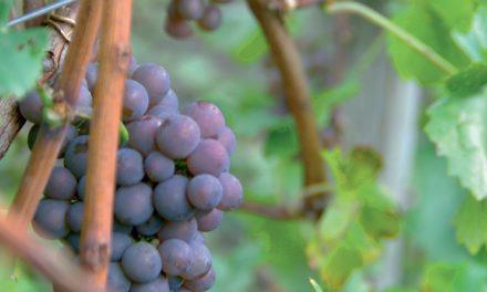 Pilkoji eminencija – Pinot G.