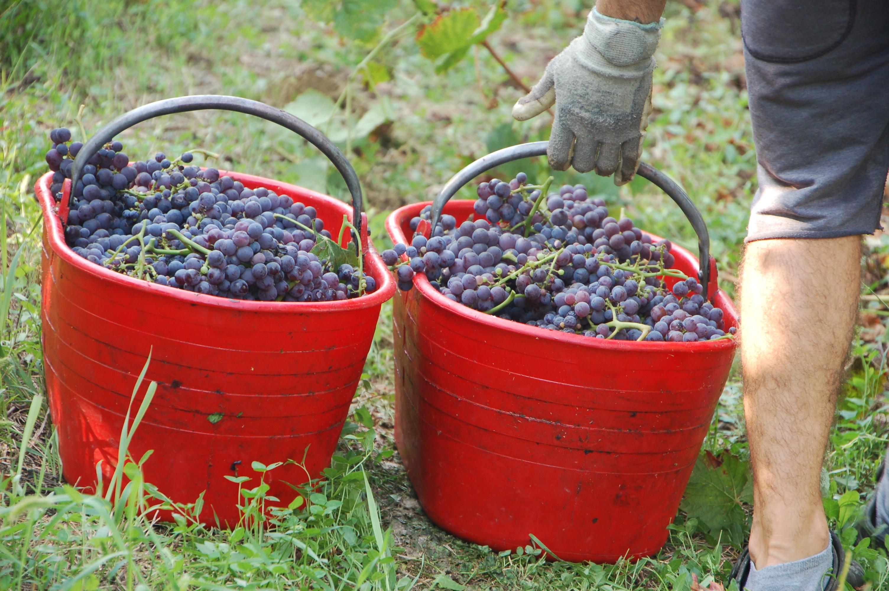 Brachetto vynuogių krepšiai