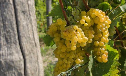 Į Pjemontą – vyno keliais, lydimiems baltųjų trumų ir šokolado aromatų