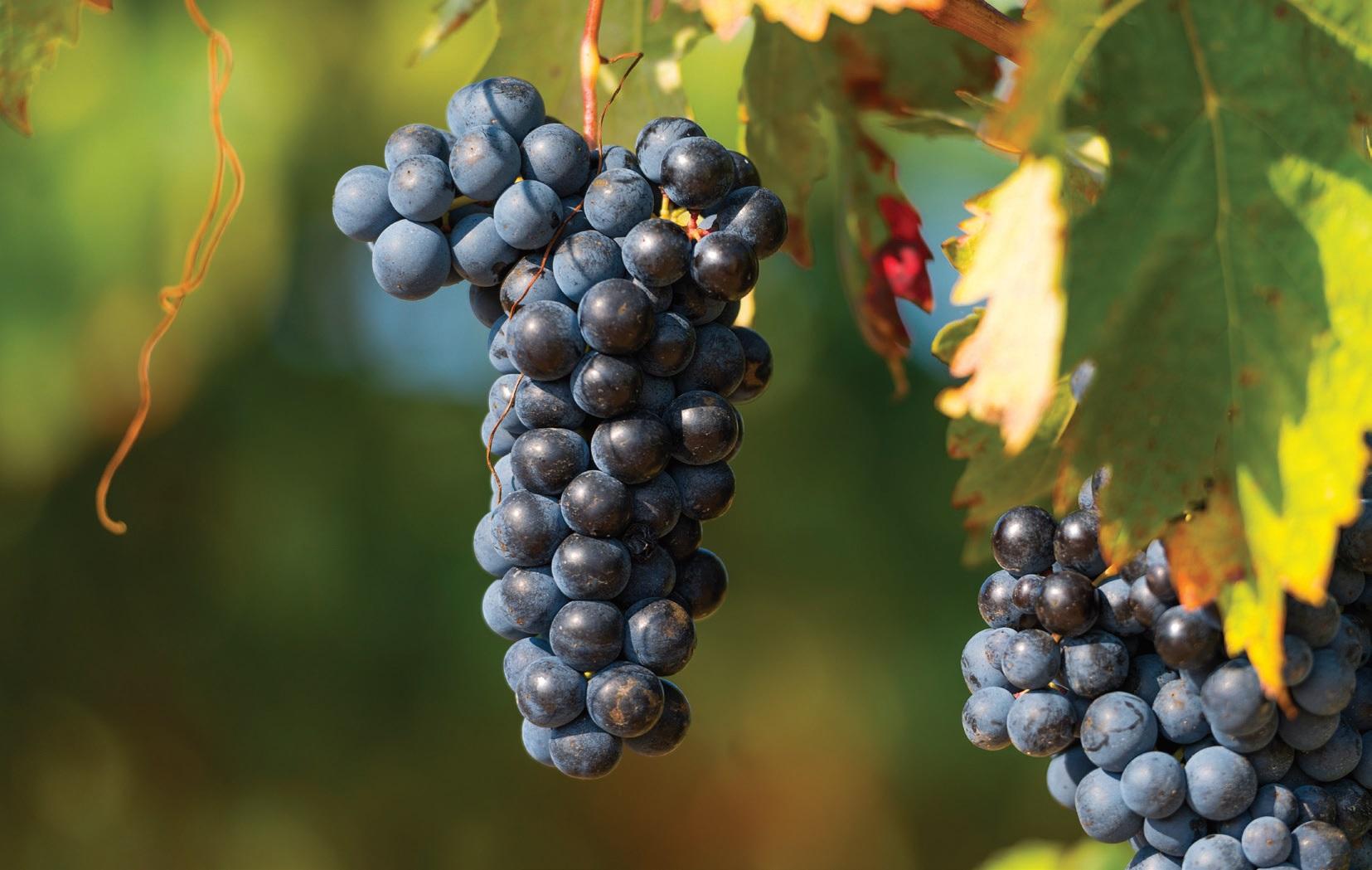 Pinot Noir vynuogės